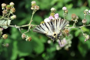 farfalla-bertone
